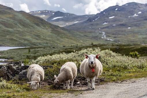 Mouton dans une gestion conservatoire